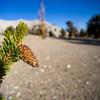 Sappy pine cone