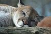 Cougar / Puma