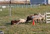 11-08-sheep-0616
