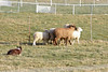 11-08-sheep-0628
