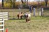 11-08-sheep-0621