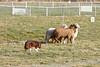 11-08-sheep-0629