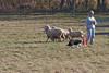 11-07-sheep-017-9738