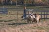 11-07-sheep-009-9727