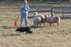 11-07-sheep-016-9737