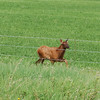 Moose calf seen shortly after leaving Dawson Creek bound for Prince George