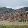 Mountain Pine Beetle Infestation, near Ashcroft BC