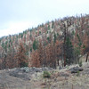 Mountain Pine Beetle Infestation, near Ashcroft, BC