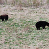 Black bears are a fairly common sight along the Alaska Highway. These big boys are grazing near Liard River, BC