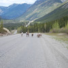 Several varieties of sheep are abundant along portions of the Alaska Highway. These near Burwash Landing, YT