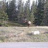 This huge elk was just hanging out beside the highway in Jasper, AB
