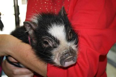 Mrs. Lyon Kisses a Pig
