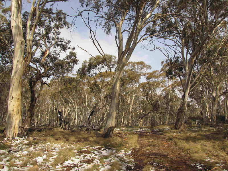 Rogaine course setting in the snow, Tantangara Dam area, NSW, 21/8/10<br /> Gavells HutTrail, near Nungar Plain