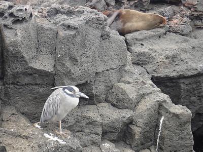Yellow-crowned night heron and fur seal.  Santiago Island.