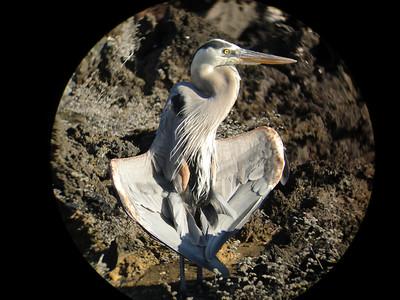 Great blue heron sunning its wings.  Bartalome Island near shore on the summit trail.