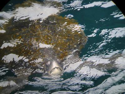 Green sea turtle in grotto.  Santiago Island.