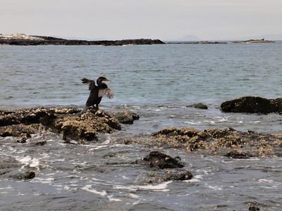 Flightless Cormorant or Cormoran no volante Fernandina Island