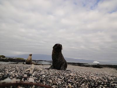 Lobos marinos and Galapagos Legend.  Fernandina.