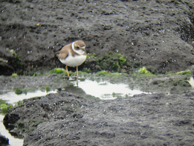 Semi-palmated plover.  Santiago Island.