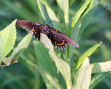 Red-spotted Purple Butterfly @ Glacier Ridge MP - July 2010