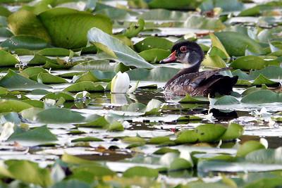 Wood Duck @ Highbanks MP - June 2010