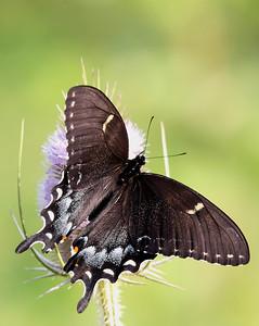 Spicebush Swallowtail Buterfly @ Highbanks MP - July 2010