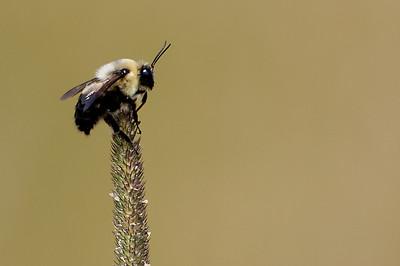Bee on Grass @ Glacier Ridge MP - July 2010