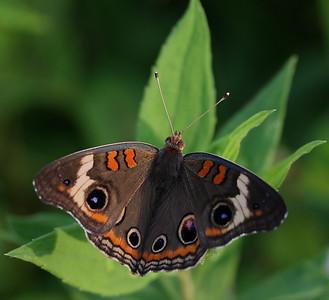 Common Buckeye Butterfly @ Highbanks MP - July 2010