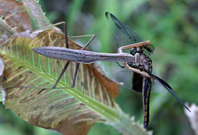 Praying Mantis Eating Widow Skimmer Dragonfly @ Highbanks MP - July 2010