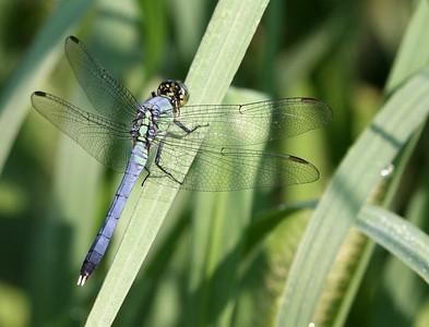Eastern Pondhawk – Male @ OSU Chadwick Arboretum - August 2010