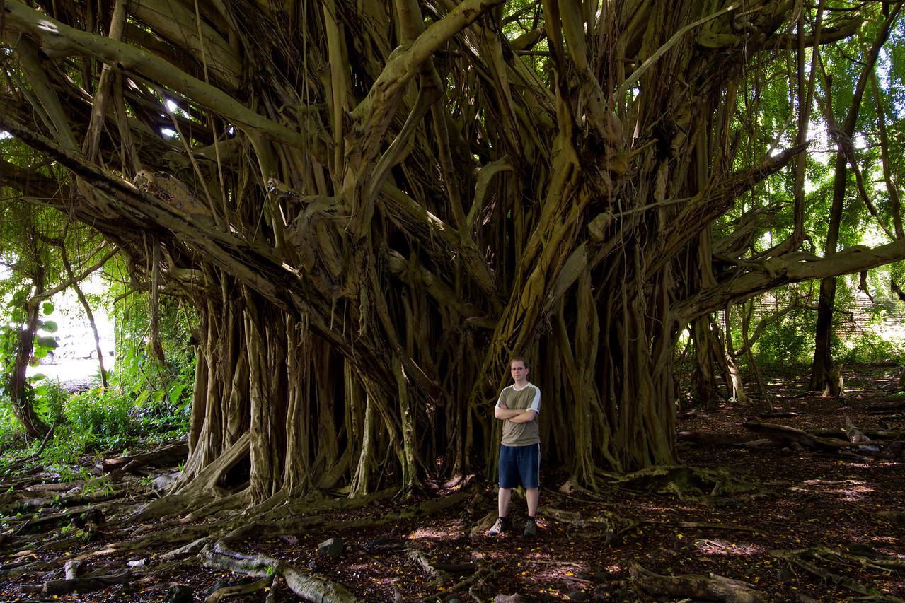 A Banyon tree