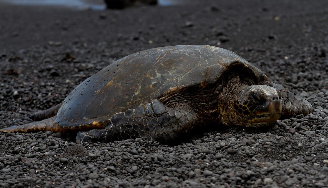 Turtle at black sand beach