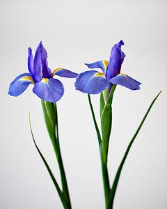 Iris pair - from Valentine's bouquet