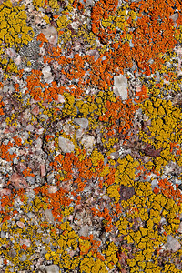 Lichen on very coarse grained Pennsylvanian sandstone 2 image focus stack, Mt. Sanitas trail, Boulder, CO