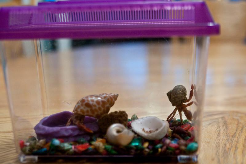 04-15-2010 new hermit crabs_0006