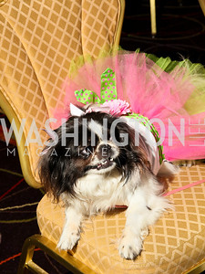 Photo by Tony Powell. The Washington Humane Society Bark Ball. Hilton Hotel. June 5, 2010. Chai