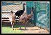Emu at York's Wild Kingdom