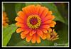 Zinnia Flower at Prescott Park