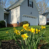 daffodils i planted last fall..they came up!!