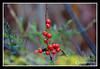 Berries-10-28-01cr
