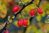 Berries-10-28-05
