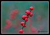 Berries-10-28-03cr