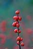Berries-10-28-04