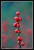 Berries-10-28-04cr