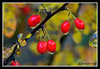 Berries-10-28-05cr