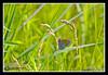 Common Ringlet at Bellamy River Wildlife Management Area