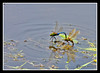 Dragonfly Mating at Bellamy River Wildlife Management Area