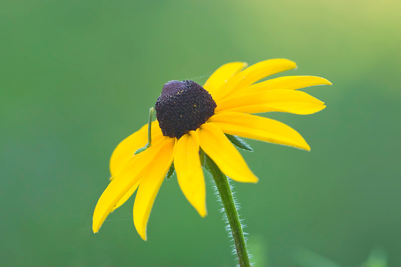 Inchworm on Black-eyed Susan