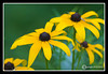 Black-eyed Susan at Great Bay National Wildlife Refuge