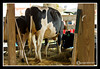 Holstein at Stratham Fair